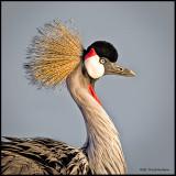 crowned crane portrait .jpg