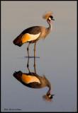 crowned crane reflection .jpg