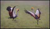 crowned cranes dancing2 .jpg