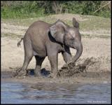 elephant calf in water .jpg