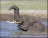 elephant in mud bath 1.jpg
