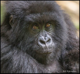 gorilla juvenile looking.jpg