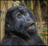 gorilla stargazer.jpg