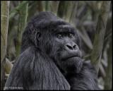 gorilla thinking portrait .jpg