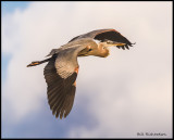 great blue heron in flight.jpg
