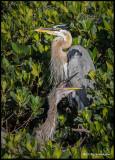 great blue heron w squawking  chick.jpg