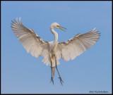 great egret flair .jpg
