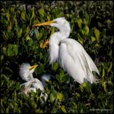 great egret w chick.jpg