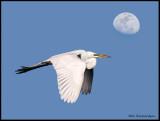 great egret w moon .jpg
