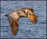 pelican flying.jpg