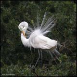 great egret displaying w neck curl.jpg