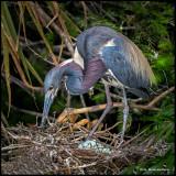 tricolor heron tending nest.jpg