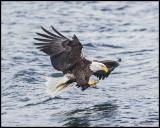 alaska_eagles_2016