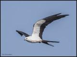 swallow_tail_kites