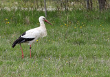 Vit Stork den 12 maj 2015 i Skövde