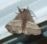 Eastern Tent Caterpillar Moth (7701)