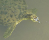 Gulf Coast Spiny Softshell Turtle