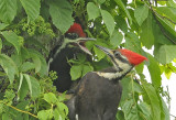 Pileated Woodpeckers Feeding their Young