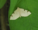 Three-spotted Fillip Moth (7647)