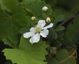 Dewberry, Common