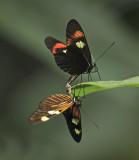 Heliconius Erato Phenotypes Mating