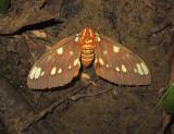 Regal Moth (7706)