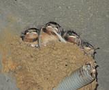 Barn Swallow Nestlings