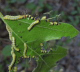 Orange-tipped Oakworm Moth (7719)