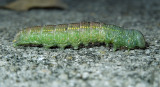 White-dotted Prominent Moth Caterpillar (7915)