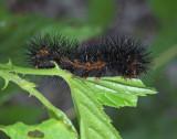 Acronicta Moth Caterpillar (Likely 9259)