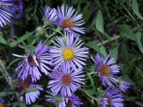 Aster, Late Purple