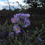 Aster, Late Purple