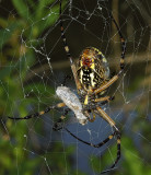 Adult ventral consuming prey
