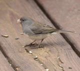 Dark-eyed Junco (Female)