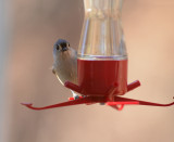 Tufted Titmouse - New Visitor to Our Hummer Feeder