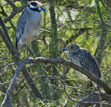 Yellow-crowned Night Herons (Adult & Juvenile)