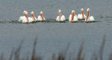 American Whitle Pelicans