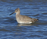 Willet (Non-breeding Adult)