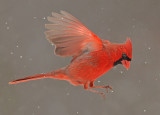 Northern Cardinal Flight