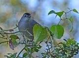 Gray Catbird (Adult)