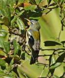 Northern Parula Warbler (1st Year Female)