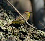 Palm Warbler (Adult)