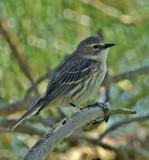 Yellow-rumped Warbler (Juvenile)