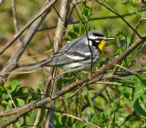 Yellow-throated Warbler (Male)