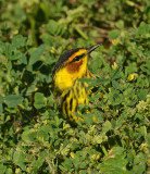 Cape May Warbler Male (Adult)