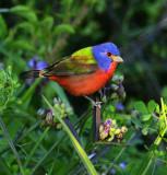 Birding Coastal Alabama, April, 2014