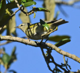 Tennessee Warbler (Female)