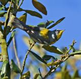 Northern Parula Warbler (Male)