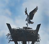 Osprey (Nesting Pair)