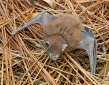 Evening Bat?